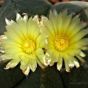 Spectacular Cactus Blooms from the Sonoran Desert