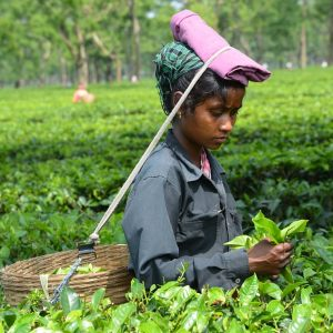 STRUGGLE FOR A CUP OF ASSAM TEA  2017
