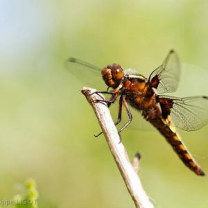 Dragonflies Azures and More !
