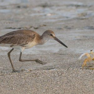 mad ghost crab and willet,almost drowned