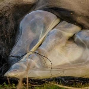 The Birth of a Wild Konik Horse