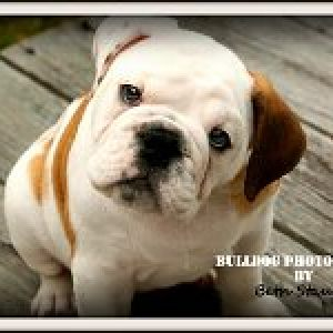 Bulldog Photography By Beth Stauffer