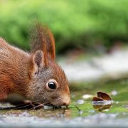 red squirrel, rode eekhoorn